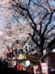 新川さくら祭り