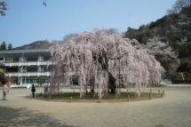 古賀志の孝子桜まつり