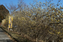 ひと足早い春の訪れ ~羽黒山の蝋梅~