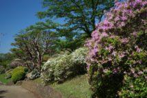 八幡山公園のツツジ