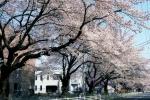 新川の桜並木