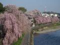 tagawa_sakura
